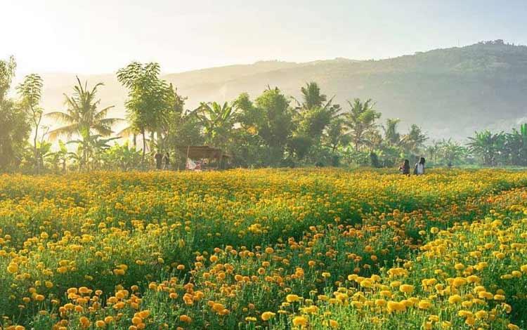 Tempat wisata di Bali - Ladang Bunga Marigold Desa Temukus