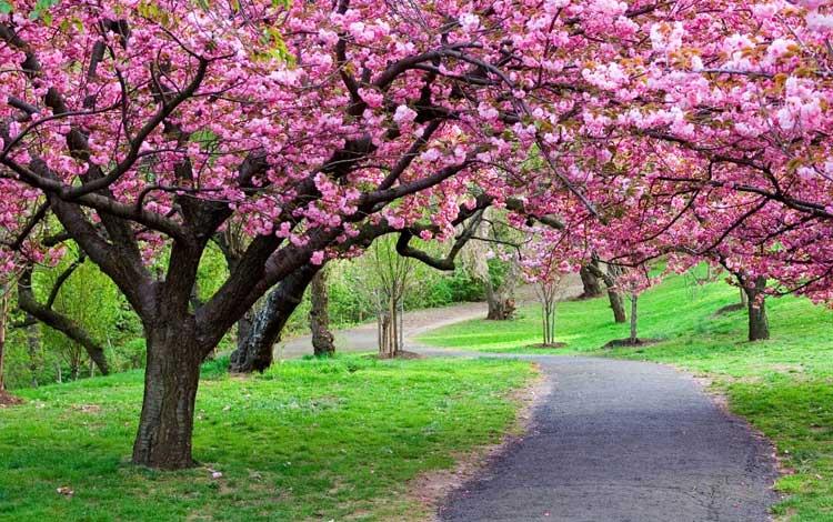 Tempat wisata di Bogor - Taman Sakura, Kebun Raya Cibodas