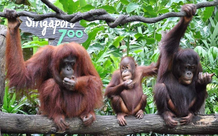 Info Terlengkap Singapura - Singapore Zoo