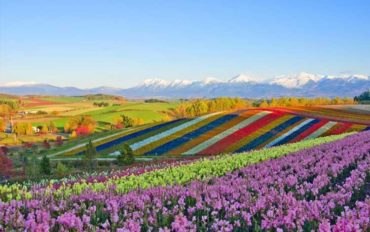 Tempat wisata terbaik di Jepang - Bukit Biei Hokkaido