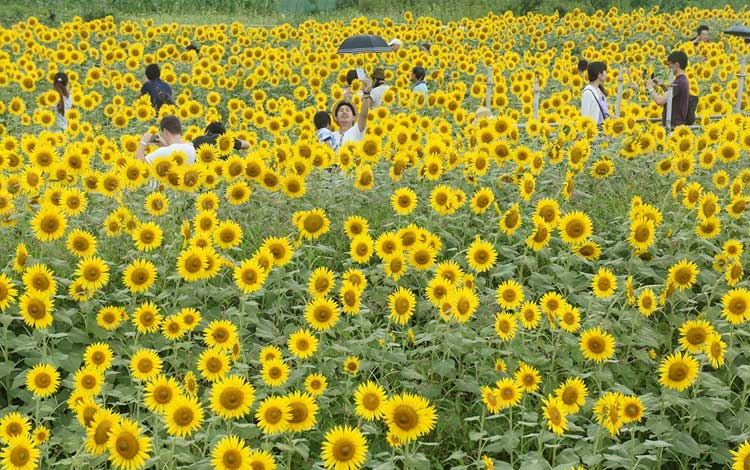 Tempat wisata terbaik di Jepang - Zama Himawari Batake